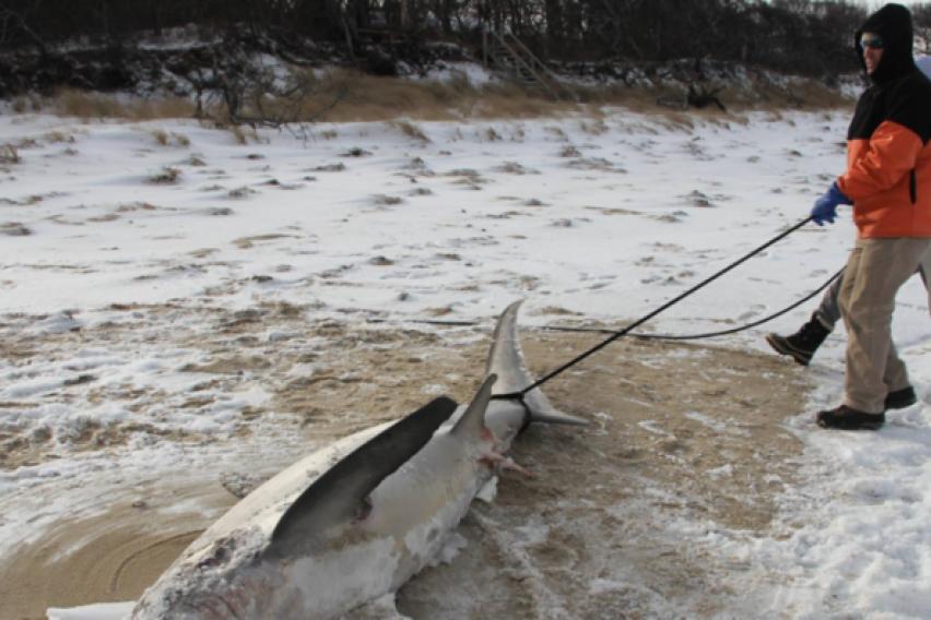УЖАС: Ајкули умираат поради поларните студови во САД (ФОТО)