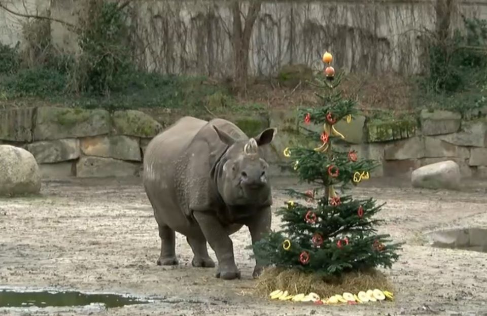 Хит видео: Вработените во зоолошката му украсиле новогодишна елка на носорогот, а за само неколку секунди се случило пресврт