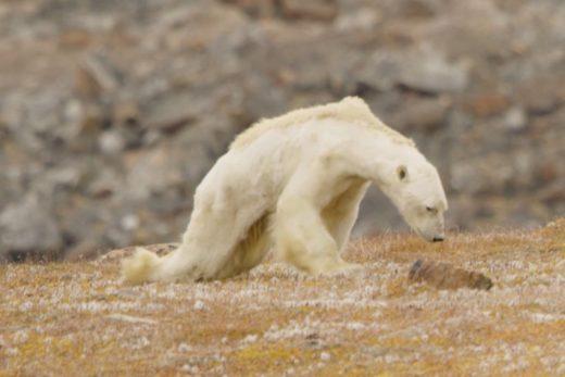 Срцепарателно видео: Оваа поларна мечка умира од глад