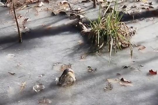 Несекојдневна снимка од алигатори кои се борат со естремниот студ во САД (ВИДЕО)