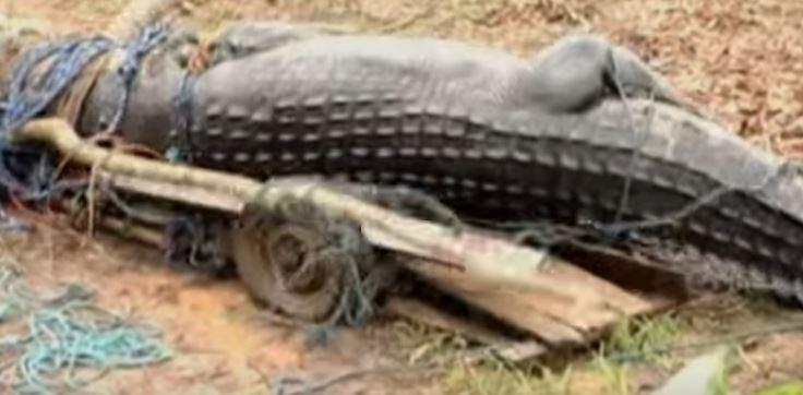 ВИДЕО: Го уловиле најголемиот крокодил во светот, а потоа се обиде да им избега