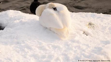 На -30 степени: Фотoграфија со смрзнат лебед го обиколи светот