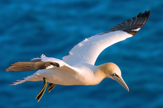 Угина Најџел- најосамената птица на светот
