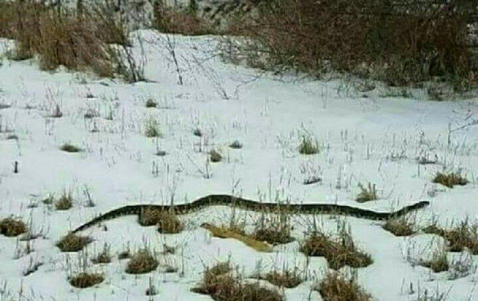 Огромна змија во снегот ги изненади Црногорците: Ако излезе змија среде зима …