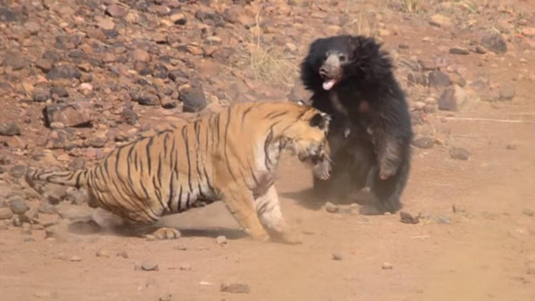 ВИДЕО: Жестока битка за вода меѓу мечка и тигар
