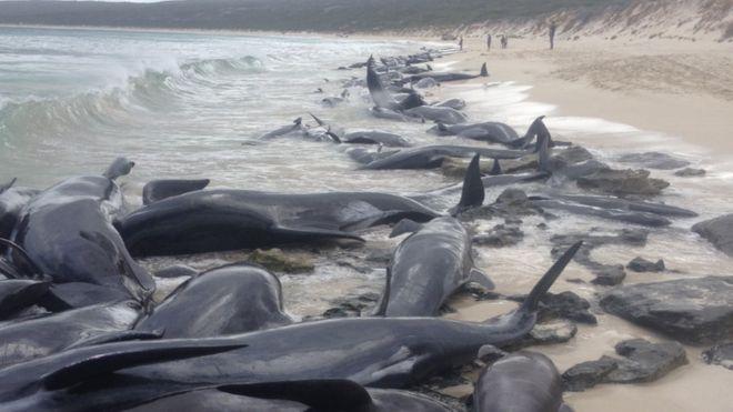 Во Јапонија повторно дозволен комерцијален лов на китови