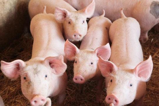 Откриена пратка со свинско месо од Шпанија со вирусот африканска свинска чума, денеска ќе биде уништена