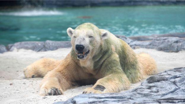 """Почина Инука- единствената """"тропска"""" поларна мечка во светот (ФОТО)"""