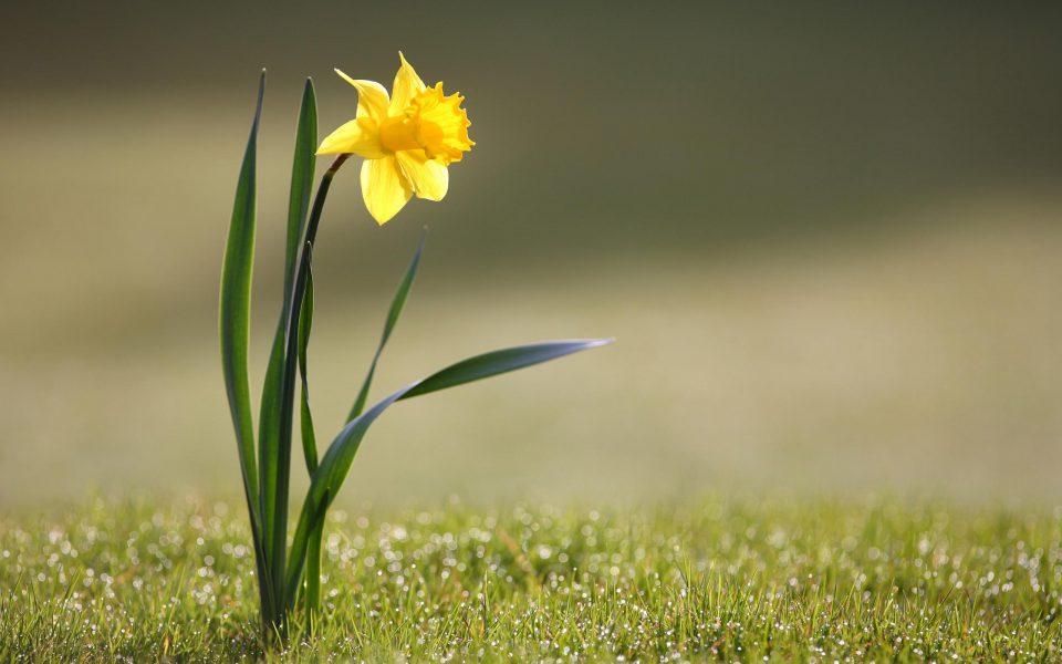 Еден цвет од нарцисот може да помогне во многу тешки болести