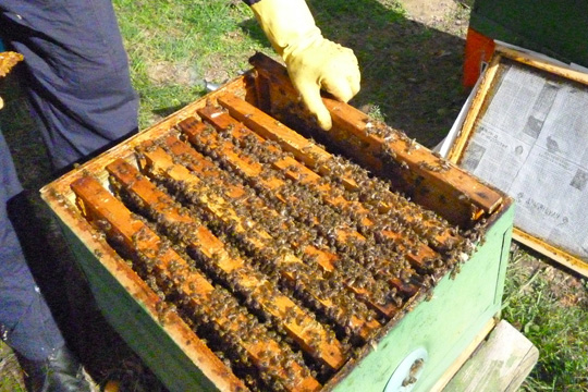 Вирус ги испразни пчелните кошници во Кичевско