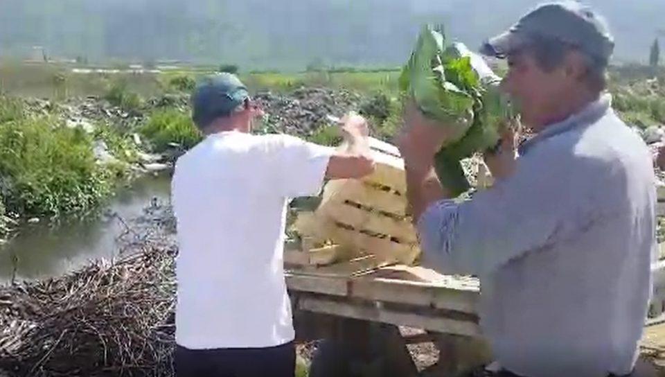 Ја фрлаат зелката поради нејзината цена: Земјоделците од струмичко имаат големи маки, а власта остана глува (СВЕДОШТВО)