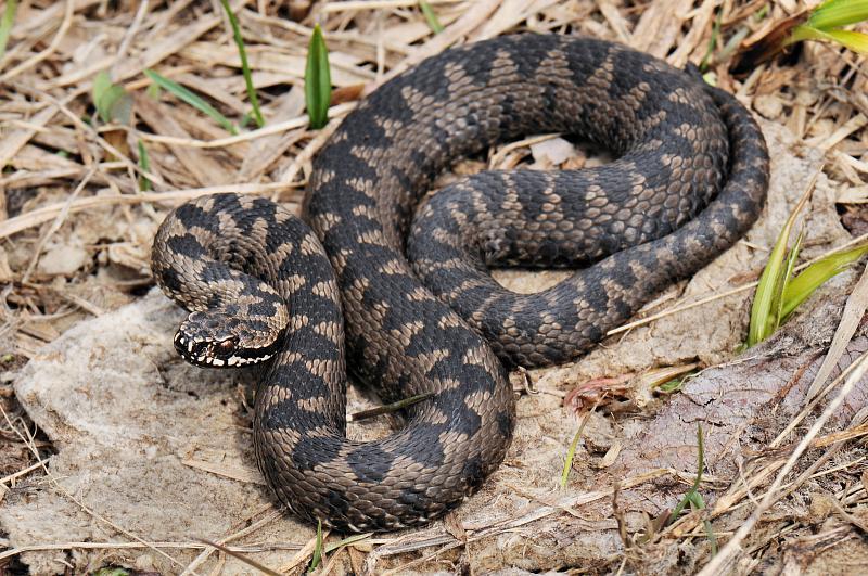 Експертите препорачуваат: Истерајте ги змиите со овој мирис, ужасно им пречи, а ќе ве заштити