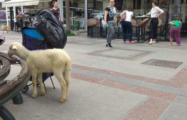 Шилегов донесе живот и за животните, овца на улица Македонија
