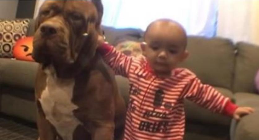 Огромен питбул и бебето се најверни другари: Ова што ќе го видите е прекрасно (ВИДЕ)