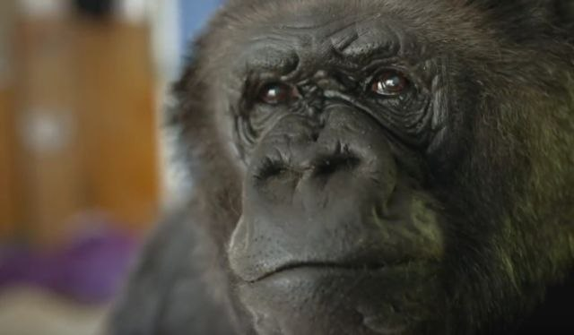 Почина најпознатата горила во светот- Коко комуницираше преку знаковен јазик
