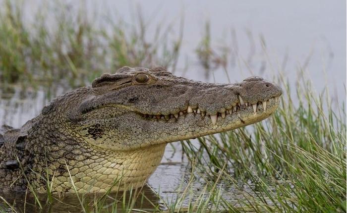 Хорор на крштевка: Крокодил усмрти свештеник, гостите сведоци на ужасот