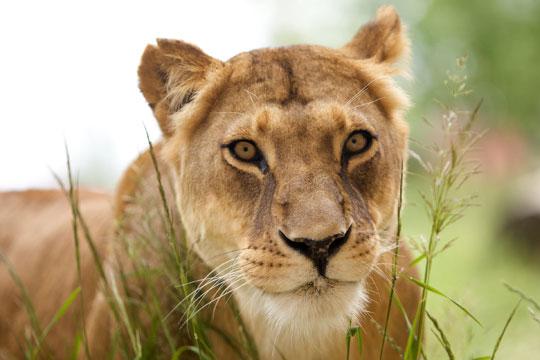 Убиена лавицaта која побегна од кафез во Зоолошката градина во Брисел