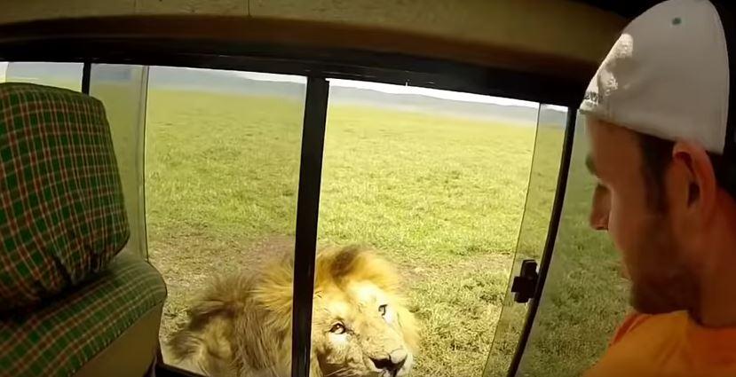 ВИДЕО: Сакал да го погали лавот и го разбеснил- набрзо се покајал