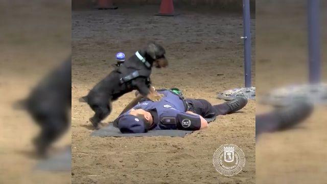 Видео кое мора да го погледнете – кучето Пончо врши реанимација на човек
