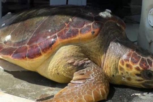 Редок вид желка во мрежите на албанските рибари
