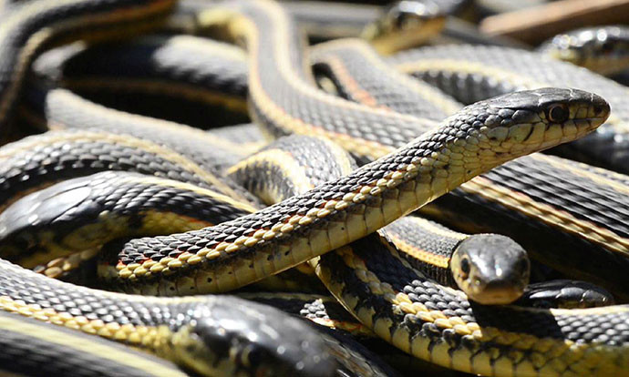 Дали често сонувате змии? Tаквиот сон крие порака која треба да ја знаете!