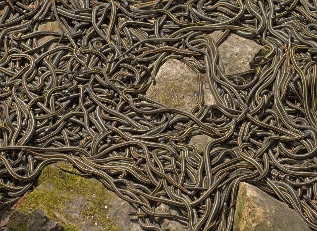 Се очекува наезда од змии – бидете внимателни и добро заштитете се