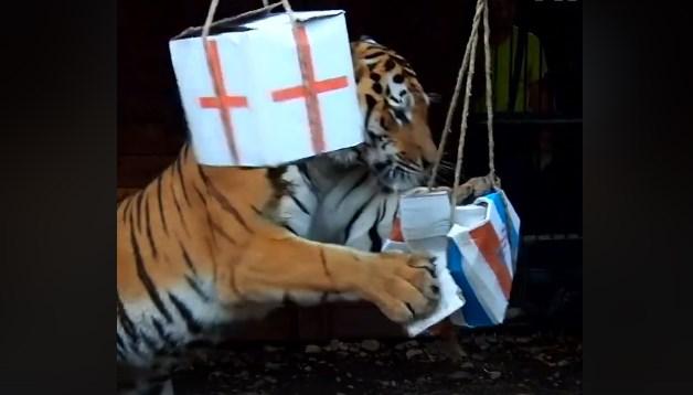 Сибирскиот тигар предвиде дека Хрватска ќе игра во финалето (ВИДЕО)