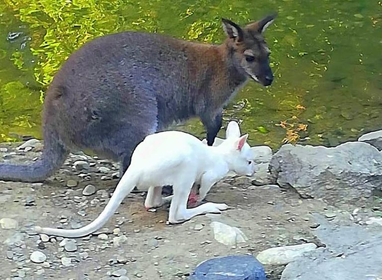 Се роди албино кенгурче во скопската зоолошка (ФОТО)