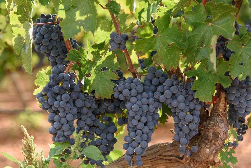 Лозарите бараат откупна цена на грозјето според шеќерните единици, кај надлежните сè уште молк