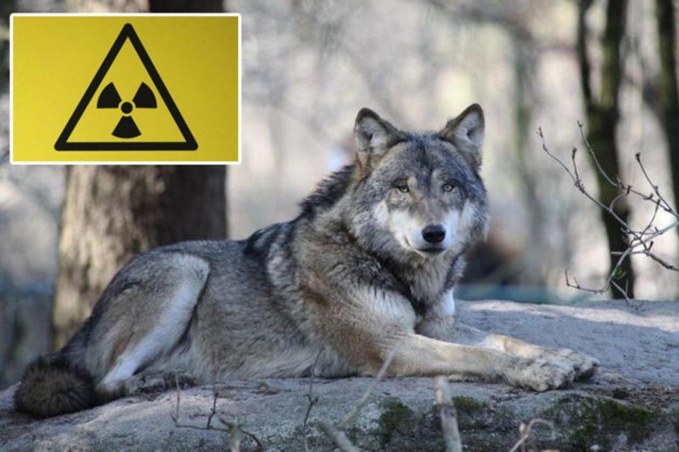 Радиоактивни ѕверови ја загрозуваат планетата: Научниците со право се плашат од волците од Чернобил (ВИДЕО)