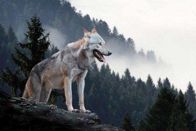 Волците од Чернобил шират мутирани гени?