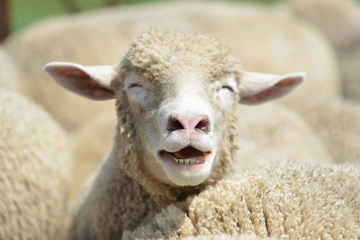 Денови на овчарство