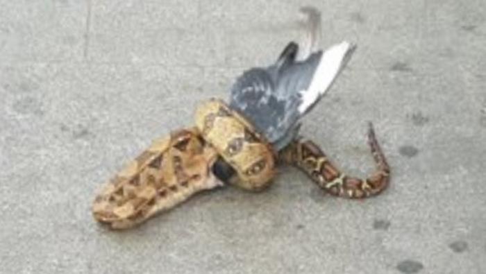 Невообичаена сцена во една од најголемите европски метрополи: Минувачите гледаа како змија јаде гулаб (ФОТО)