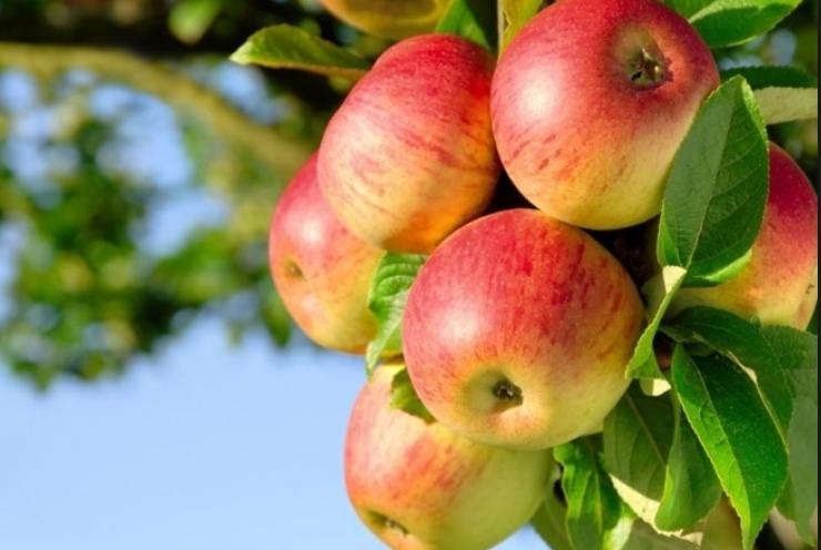Нова сорта јаболки во САД кои во фрижидер траат до една година