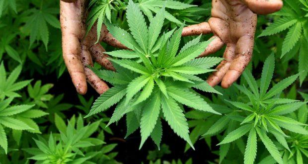 Стејт департмент: Албанија извор на канабис и земја транзит на силни дроги