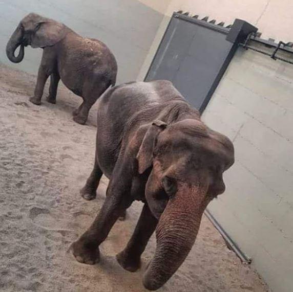 Пристигнаа Дуња и Даела: Се отвора живеалиштето на слоновите во Зоолошката (ФОТО)