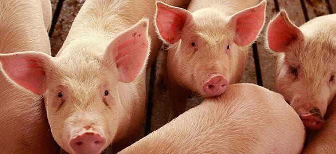АХВ ја прекинува вакцинацијата на свињи против свинска чума