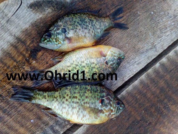 Непознат вид риба уловен кај Радожда (ФОТО)