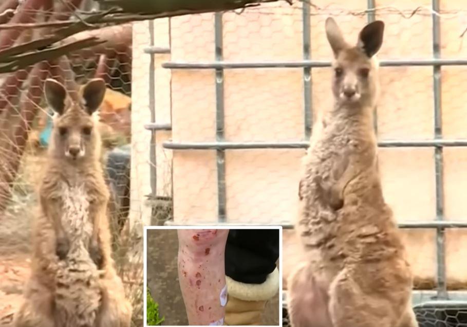 Брачен пар сакал да нахрани кенгури, а потоа се соочиле со пекол- мажот бил нокаутиран, а жената итно оперирана во болница (ВИДЕО)