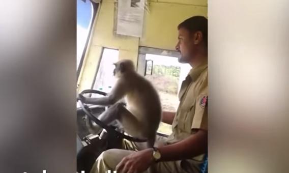 Возач му дозволил на мајмун да го вози автобусот: Патниците уживале, вработениот е казнет