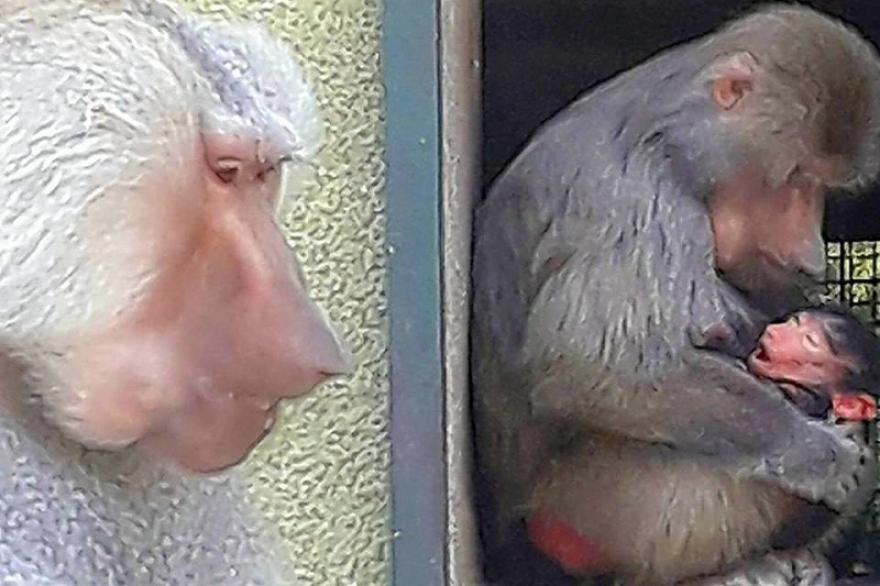 Полот ќе го одреди името: Познато е машкото име на новото мајмунче во скопската Зоолошка