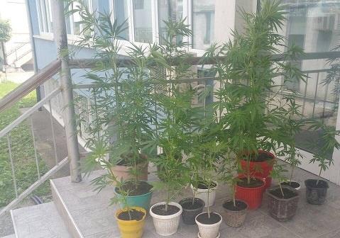 На скопјанец му ги нашле саксиите со марихуана, ќе се гони кривично