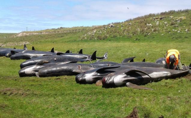 Околу 90 китови повторно се насукаа на Нов Зеланд