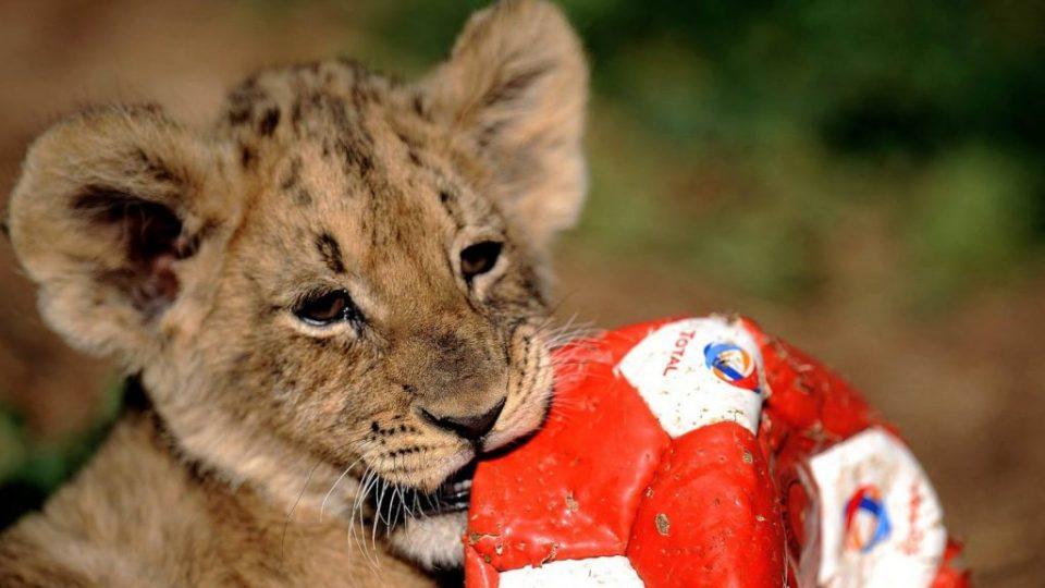 Купуваат и изнајмуваат лавови само поради селфи