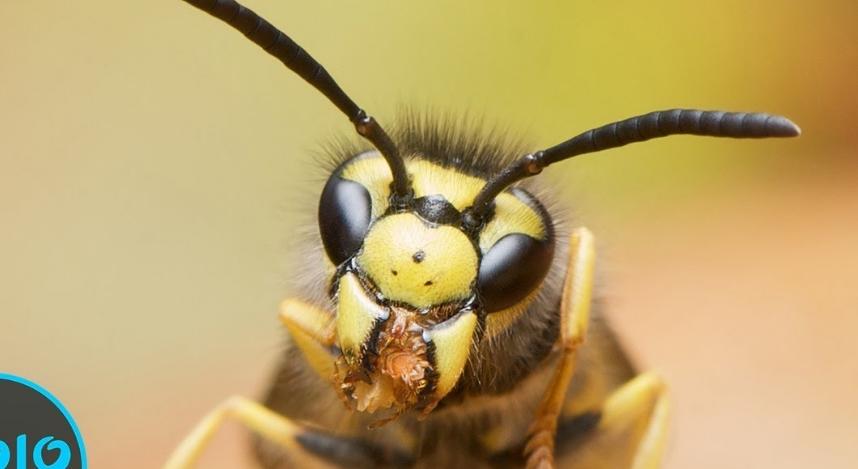 Внимателно погледнете го ова видео: Тие се мали инсекти, но нивниот убод е смртоносен