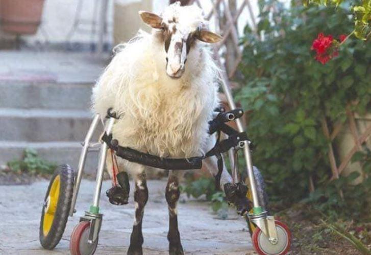 ФОТО: Овца со посебни потреби од Крит заминува на специјална фарма во Холандија