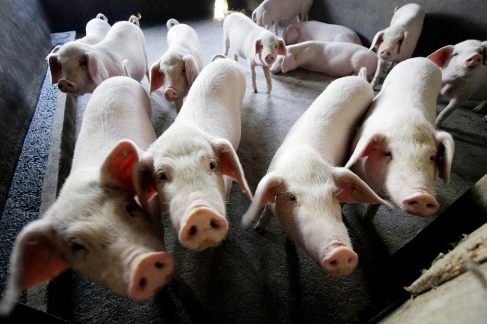 Атанасов: Граѓаните да не одгледуваат свињи за сопствени потреби