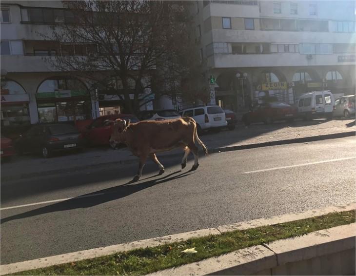 """(ФОТО) Крава излезе на чист воздух на """"Партизанска"""""""