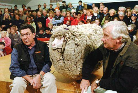 Кога овца дава отпор: Шест години бегала од газдата да не ја потстриже (ФОТО)