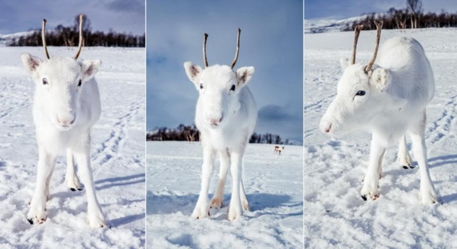 Ретка убавина: Неодоливи фотографии од бело бебе ирвас